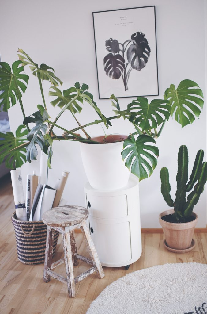 plante fingerphilodendron/ monstera