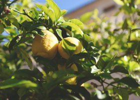 Opskrift: Hjemmelavet lemonade