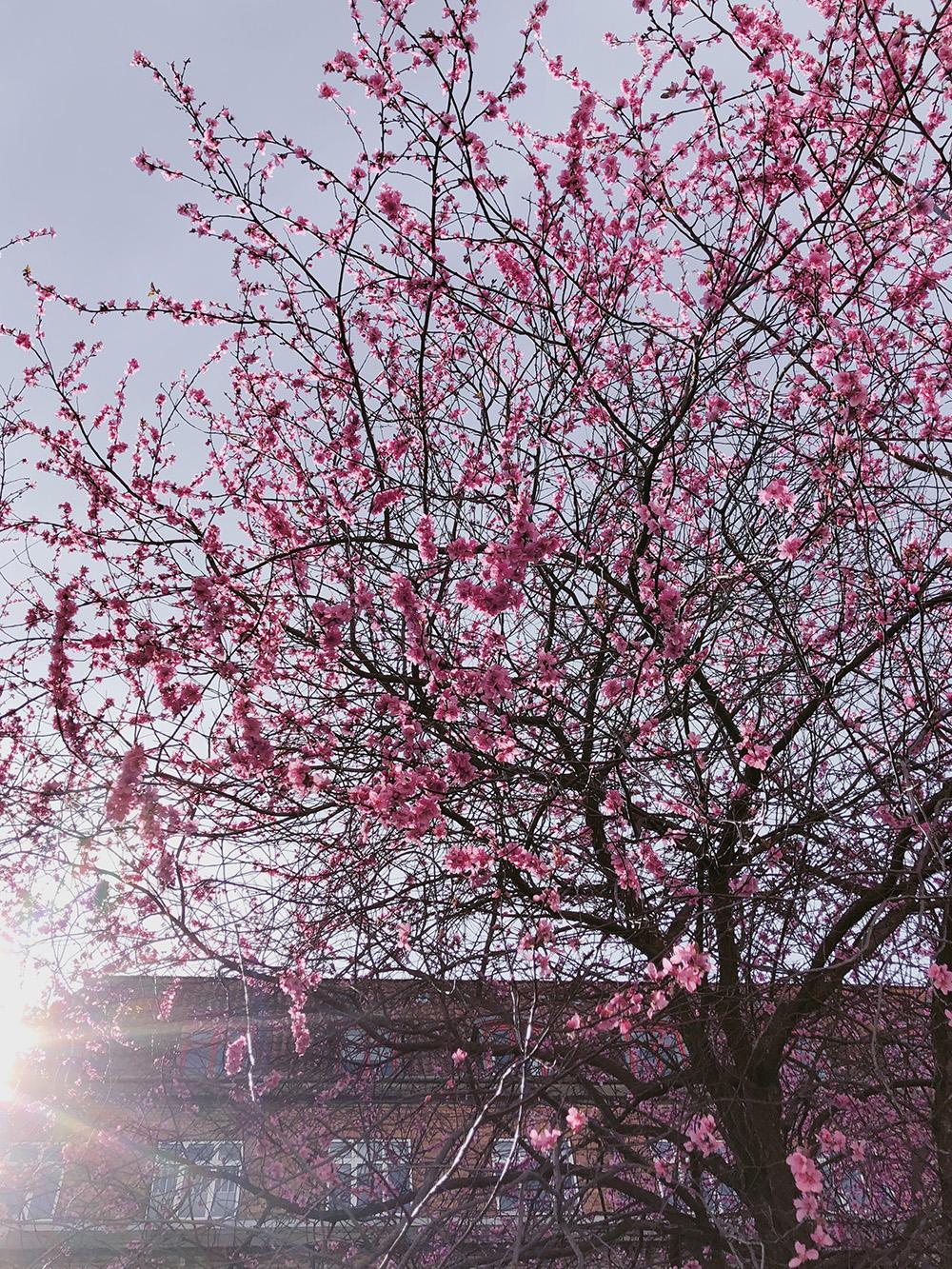 blomstrende kirsebærtræ