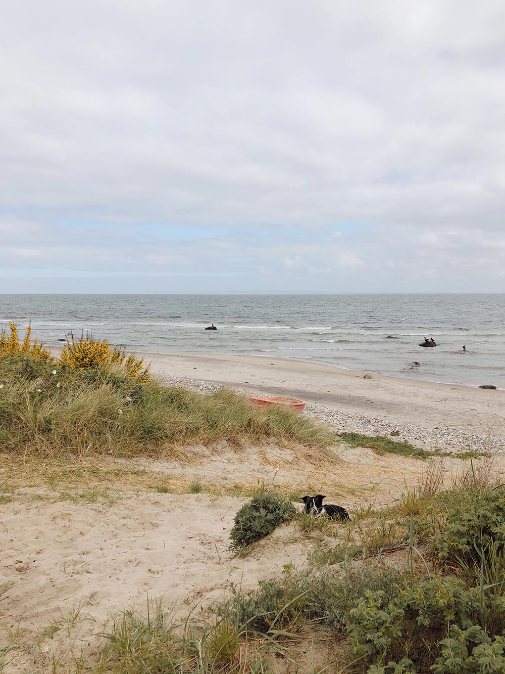 strand hund havtorn